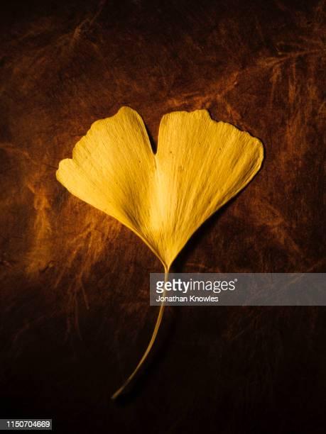 ginkgo leaf - art bildbanksfoton och bilder