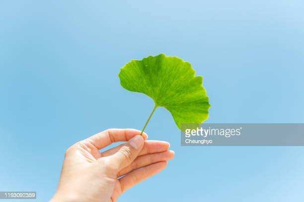 ginkgo leaf - ginkgo tree stock pictures, royalty-free photos & images