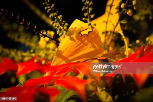 ginkgo leaf - william mevissen - fotografias e filmes do acervo