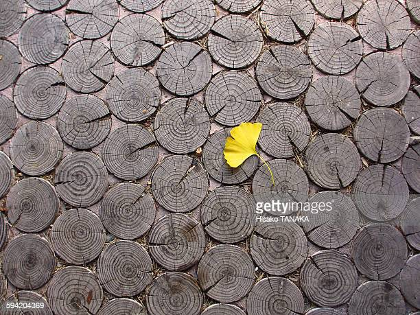 Ginkgo leaves colored in yellow