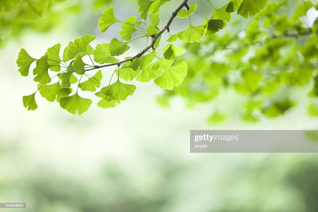 Ginkgo Blätter : Stock-Foto