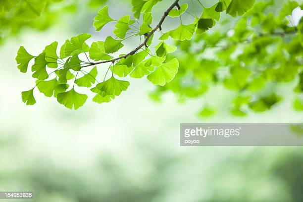 ginkgo leaves - ginkgo tree stock pictures, royalty-free photos & images
