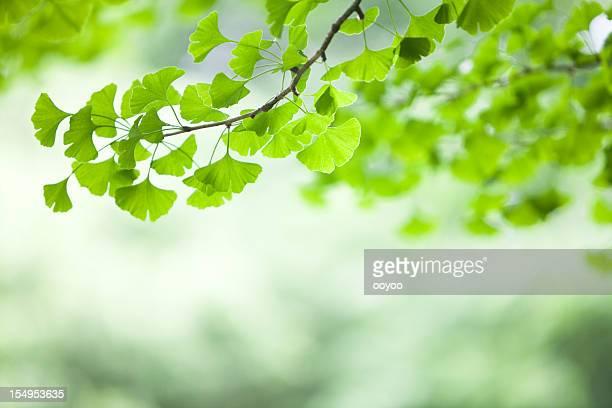 ginkgo blätter - blatt pflanzenbestandteile stock-fotos und bilder
