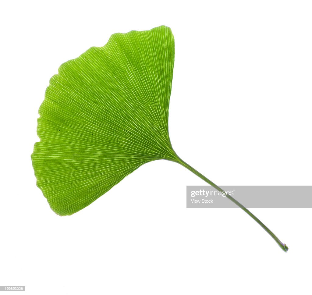 ginkgo tree stock photos and pictures getty images