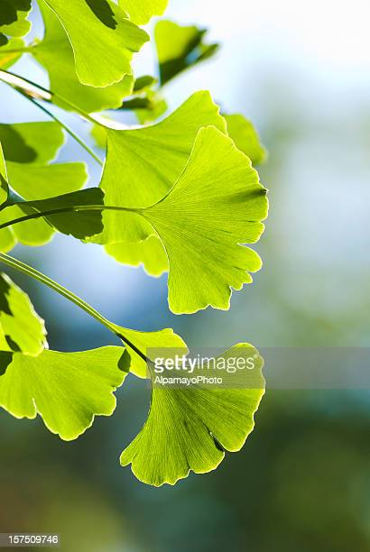 ginkgo (ginkgo biloba) leaves - vi - ginkgo tree stock pictures, royalty-free photos & images