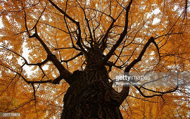 ginkgo tree in autumn - ginkgo tree stock pictures, royalty-free photos & images