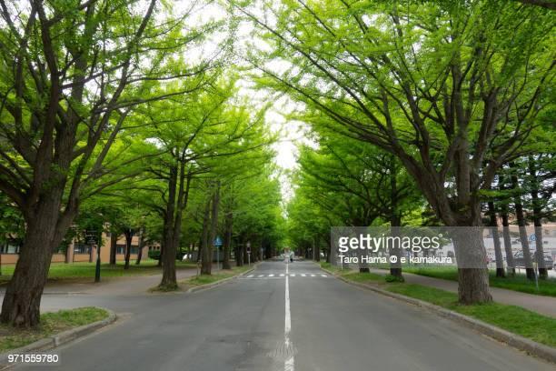 Ginkgo tree street in Sapporo in early summer