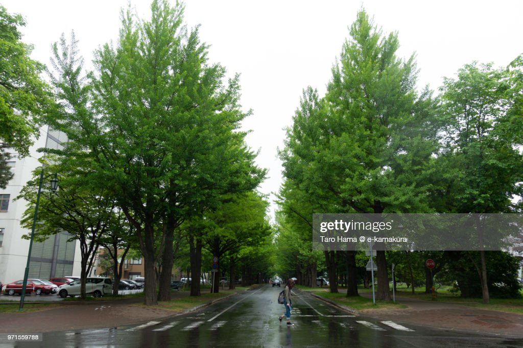 Ginkgo tree street in Sapporo in early summer : ストックフォト