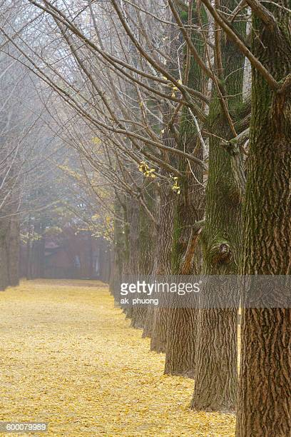 Ginkgo trees in the autumn at Nami island Korea