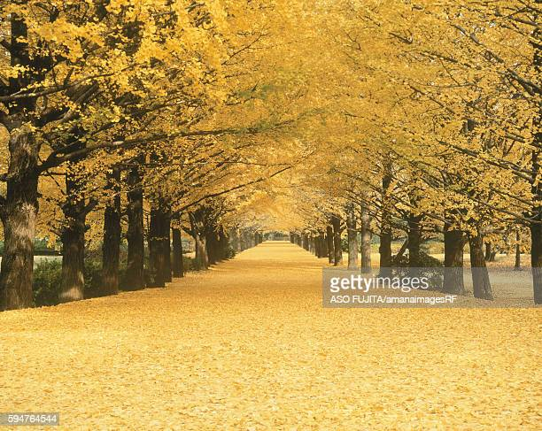 ginkgo trees lining road, tokyo prefecture, japan - ginkgo tree stock pictures, royalty-free photos & images