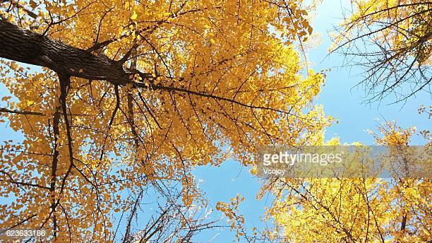 ginkgo trees, namiseom island, korea - vsojoy stock pictures, royalty-free photos & images
