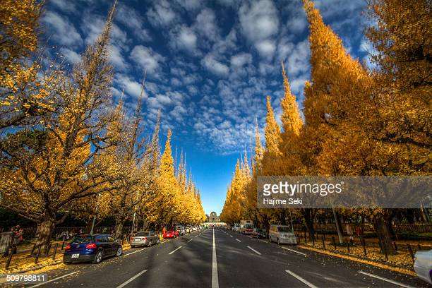 Ginkgo Trees of JinguGaien with blue sky