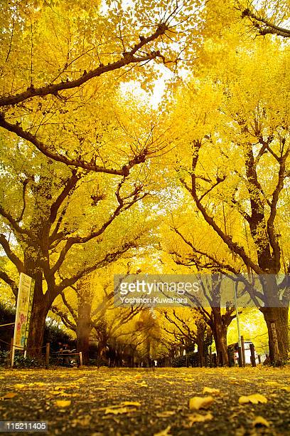 ginkgo trees - ginkgo tree stock pictures, royalty-free photos & images