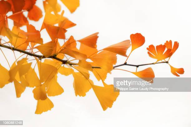 ginkgo's subtle shades - ginkgo tree stock pictures, royalty-free photos & images