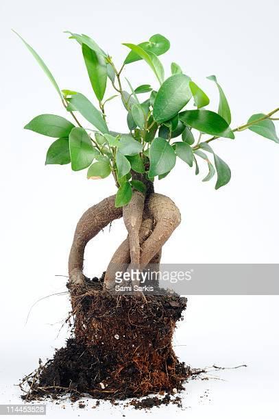 Ginseng Ficus bonsai (Ficus retusa)