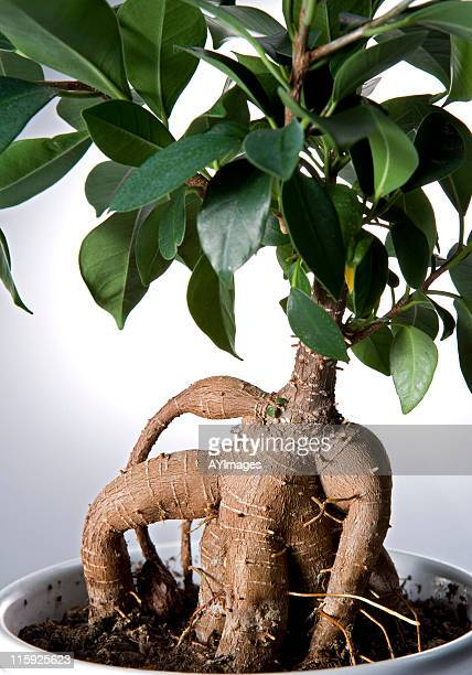 ginseng ficus (ficus retusa) - fig tree stock pictures, royalty-free photos & images