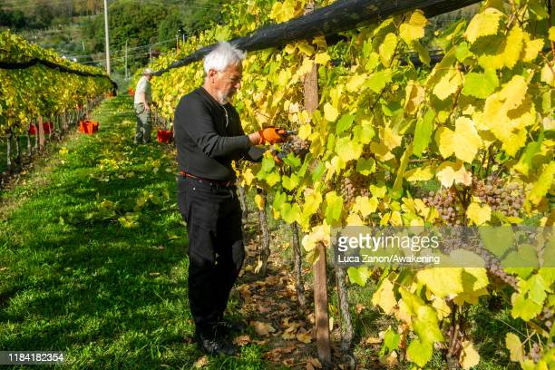 Giovanni Dri harvests grapes to make Picolit wine in a vineyard on October 29 2019 in Udine Italy Piccolit is a fine white Italian wine grape from...