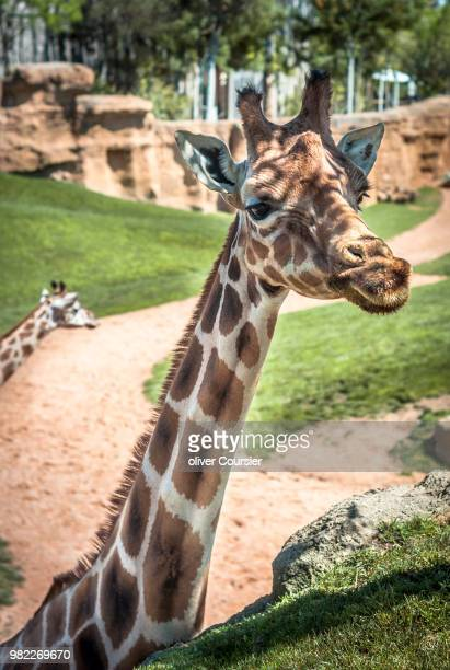 girafe curieuse - girafe stock pictures, royalty-free photos & images