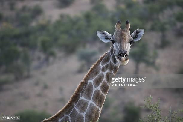 A girafe is pictured in a game park near Windhoek on May 15 2015 AFP PHOTO / MARTIN BUREAU