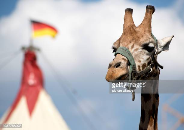A Girafe stands in its enclosure at the Circus Voyage in Munich Germany 16 August 2016 Photo Sven Hoppe/dpa | usage worldwide