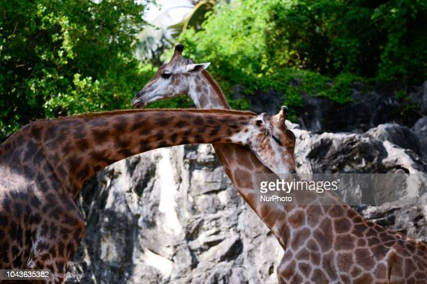 Giraffa inside a cage at Dusit Zoo in Bangkok Thailand 30 September 2018 Dusit Zoo is Thailand's first public zoo opened 80 years ago on 18 March...