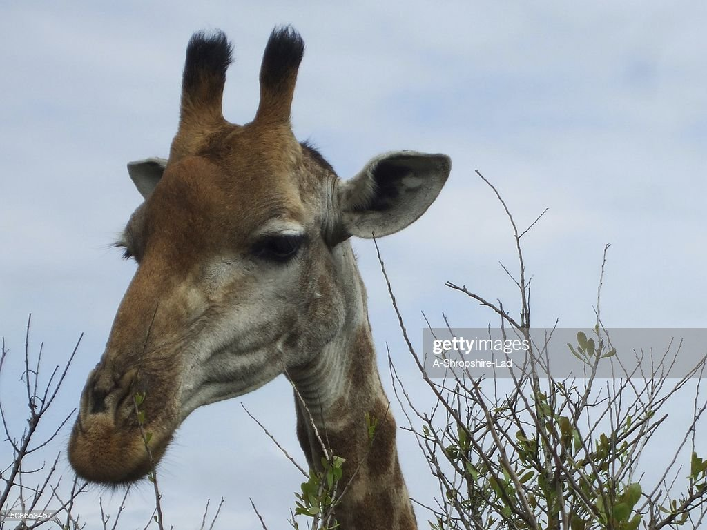 Giraffe 007 : Stock Photo