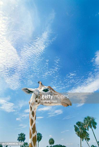 Giraffe against blue sky, low angle view