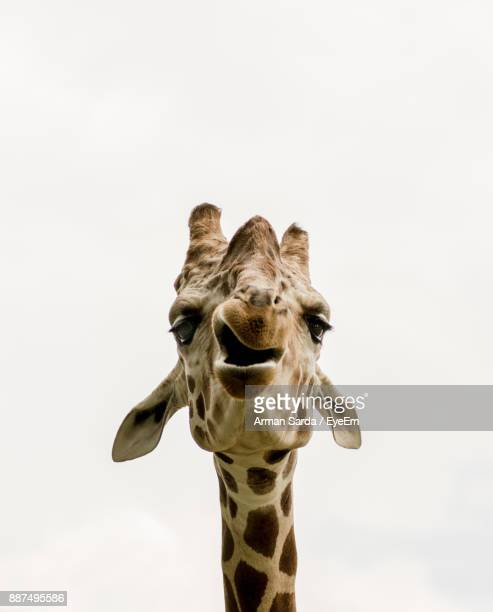 giraffe against white background - white giraffe stockfoto's en -beelden