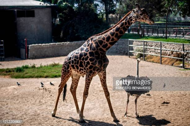 Giraffe and an ostrich are seen at the Huachipa zoo in Lima on May 08 amid the new coronavirus pandemic. - The Huachipa Zoo launched a fundraising...