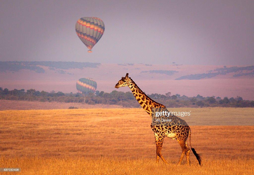 Giraffe and balloon : Stock Photo