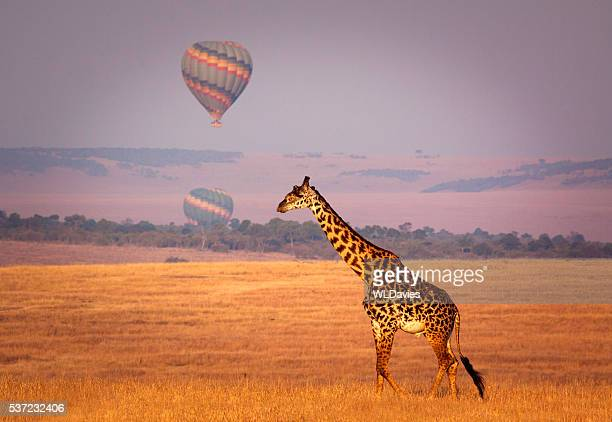 giraffe and balloon - nature reserve stock pictures, royalty-free photos & images