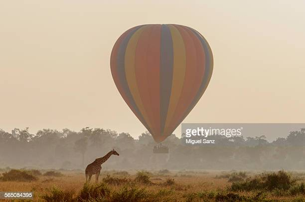 Giraffe and hot air balloon ride in Masai Mara