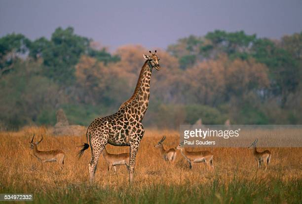 Giraffe and Impalas in Grass