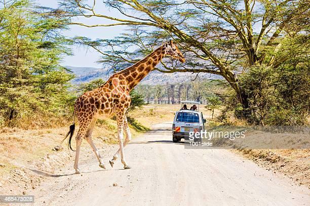giraffe and tourists with safari cars - lake nakuru stock photos and pictures