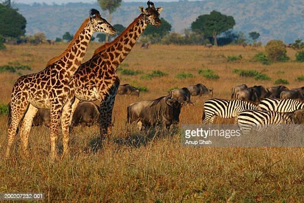 Giraffe (Giraffe camelopardalis tippleskirchi) and zebra grazing,  Masai Mara N.R, Kenya
