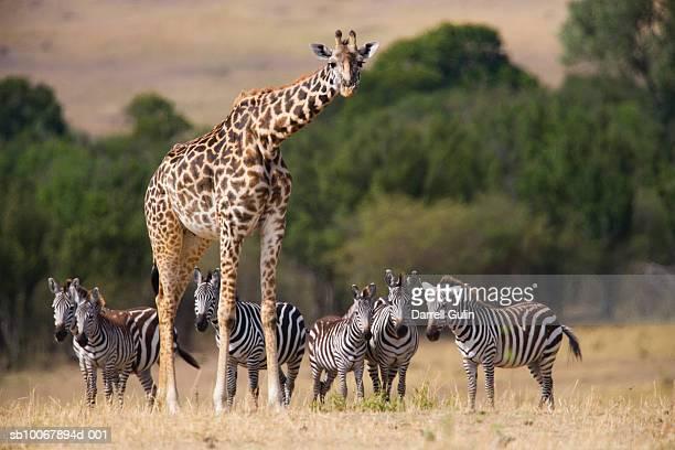 Giraffe and zebras on plain
