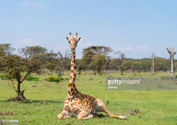 giraffe, animal in africa, kenya, lake naivasha - giraffe stock pictures, royalty-free photos & images