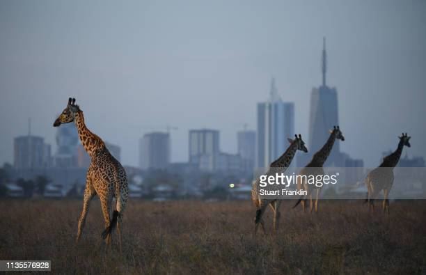 Giraffe are seen by the city skyline prior to the start of the Magical Kenya Open presented by Absa at the Karen Golf Club on March 13, 2019 in...