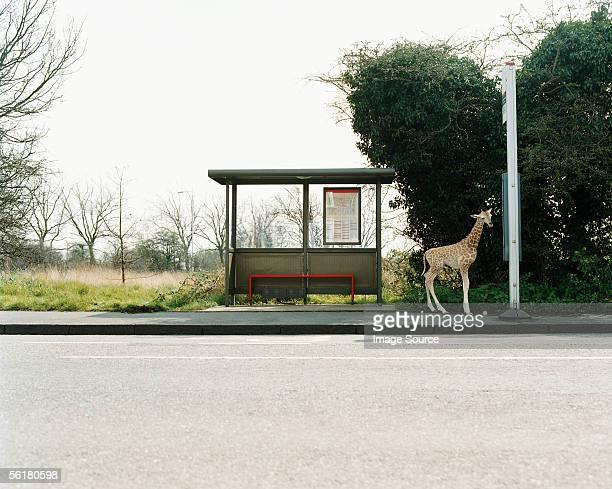 Girafe dans un arrêt de bus