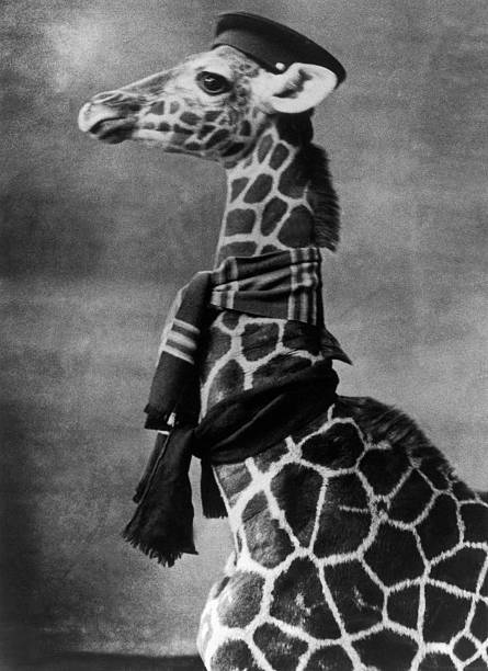 A Giraffe With A Scarf And Hat, 1940-1960