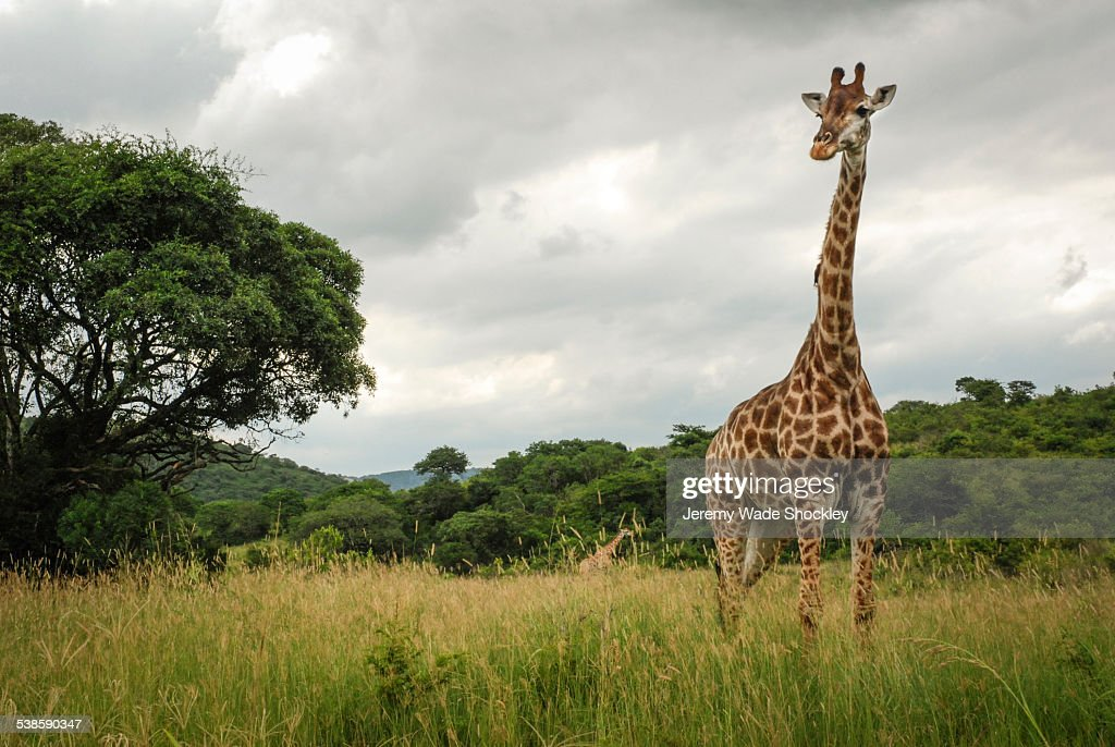 A giraffe at Hluhluwe-Imfolozi Game Reserve in South Africa. : Stock Photo