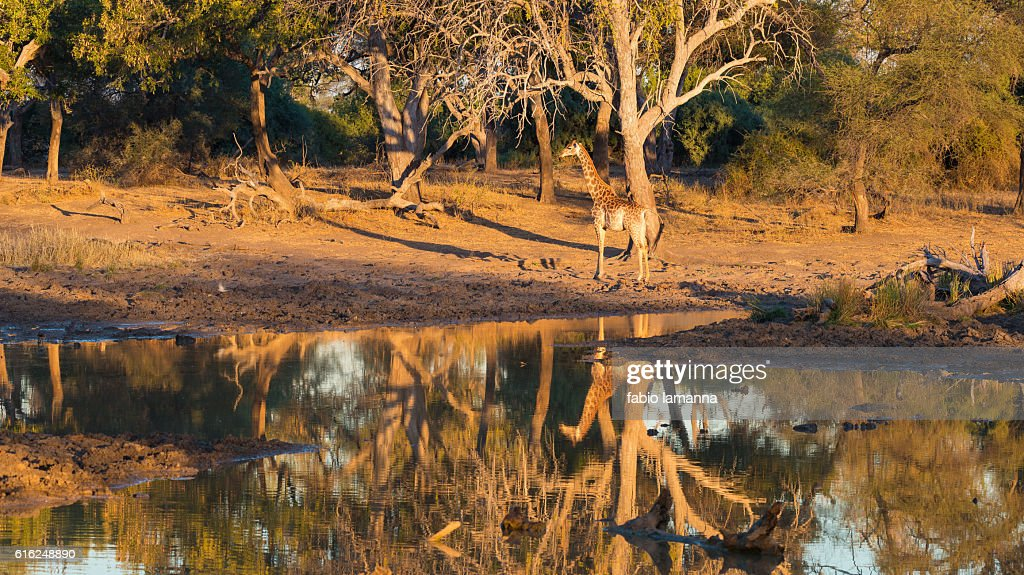 Giraffe at sunset Mapungubwe National Park, South Africa : Stock Photo