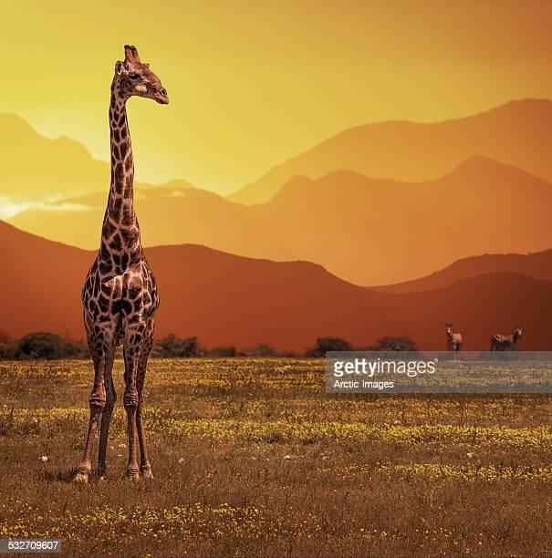 Giraffe at sunset, Namibia, Africa