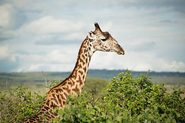 Giraffe at Tarangire