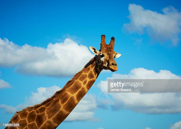 Giraffe at Werribee Zoo.