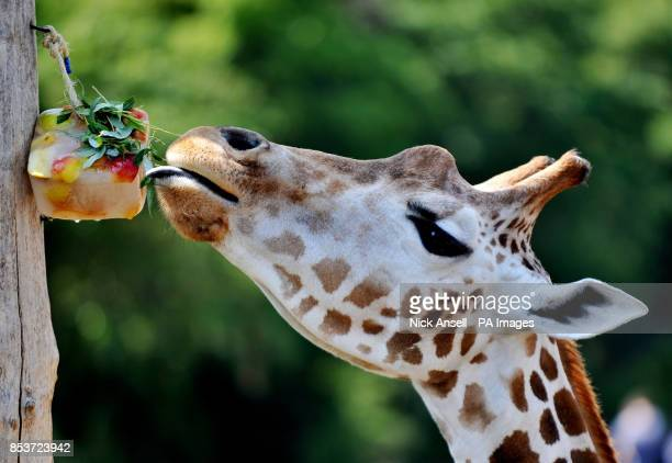 A giraffe at ZSL London Zoo cools off with a fruit and bush ice block as temperatures across many southern parts of England are expected to top 30C...