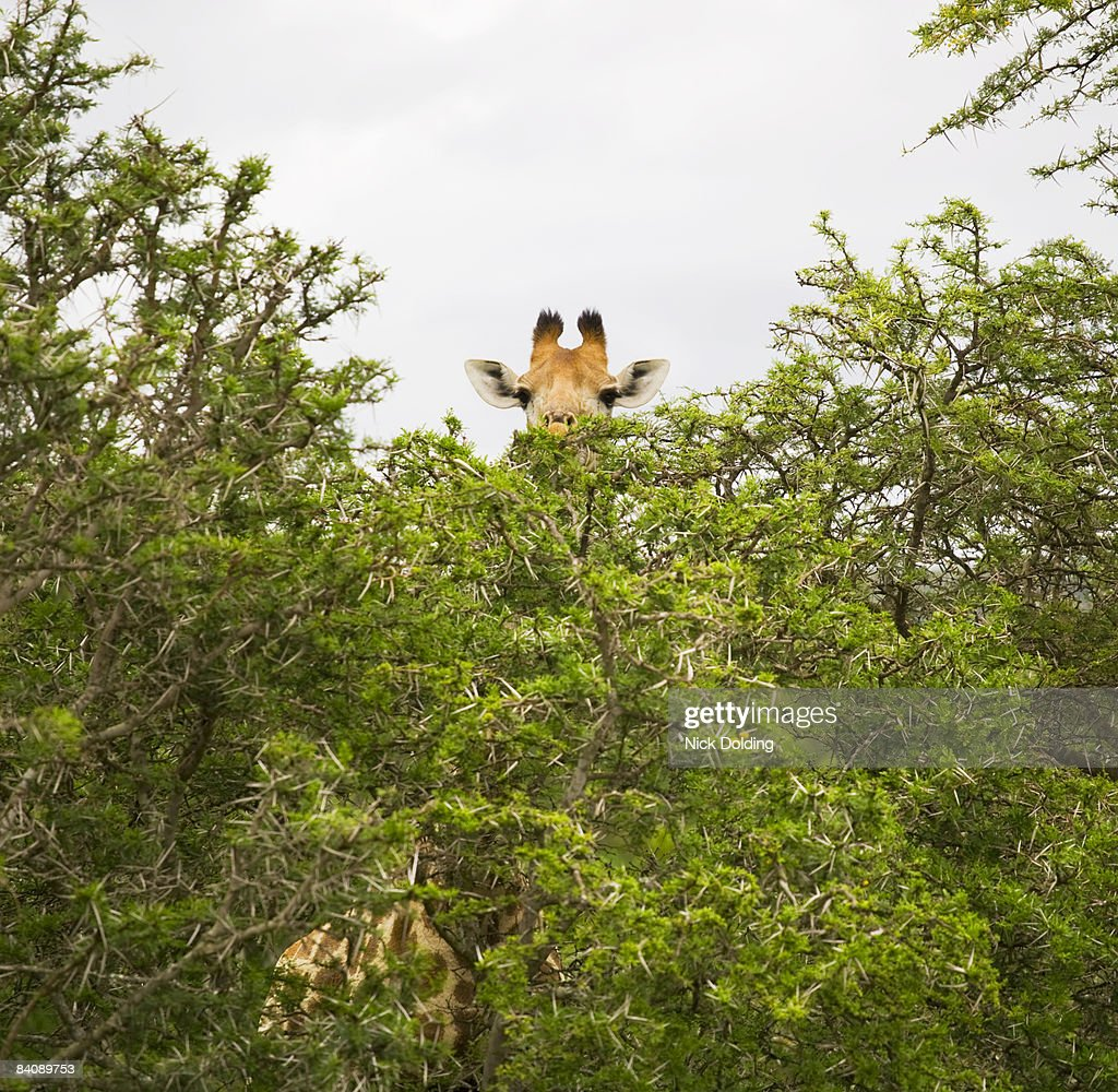 51 Top Hidden Giraffe Pictures Photos Images Getty Images