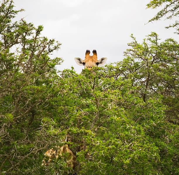 Giraffe behind trees in safari park