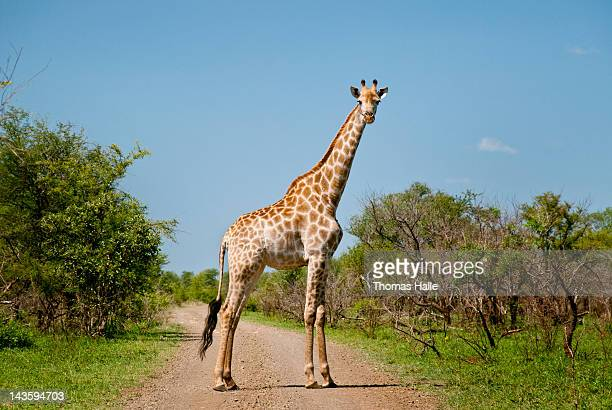 giraffe blocking way - kruger national park stock pictures, royalty-free photos & images