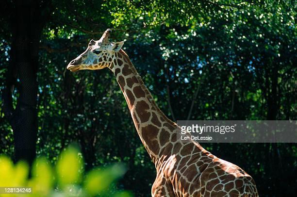 Giraffe, Bronx Zoo, New York